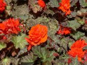 orange Wax Begonia, Tuberous Begonia