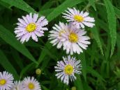 pink Bolton's Aster, White Doll's Daisy, False Aster, False Chamomile