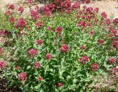 red Jupiter's Beard, Keys to Heaven, Red Valerian