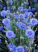 light blue Knapweed, Star Thistle, Cornflower