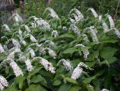 photo Garden Flowers Gooseneck Loosestrife, Lysimachia clethroides white