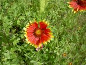 red Blanket Flower