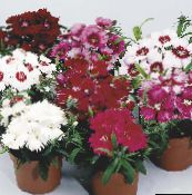 burgundy Dianthus, China Pinks