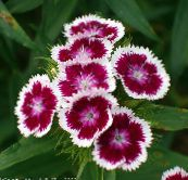 weinig Sweet William