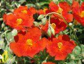 red Rock rose