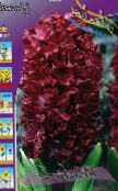 burgundy Dutch Hyacinth