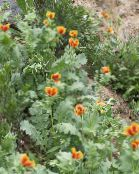 orange Sea Poppy, Horned Poppy