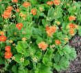 orange Nelkenwurz, Geum