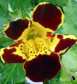 burgundy Monkey Flower