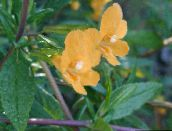 orange Sticky Monkeyflower