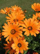 orange Cape Marigold, African Daisy