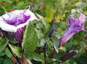 lilac Angel's trumpet, Devil's Trumpet, Horn of Plenty, Downy Thorn Apple