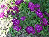 purple Candytuft