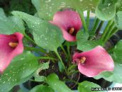pink Calla Lily, Arum Lily