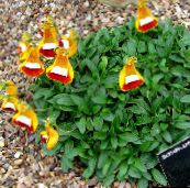 orange Lady's Slipper, Slipper Flower, Slipperwort, Pocketbook Plant, Pouch Flower