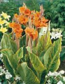 orange Canna Lily, Indian shot plant