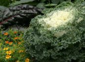 white Flowering Cabbage, Ornamental Kale, Collard, Curly kale