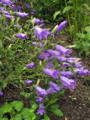 purple Campanula, Bellflower