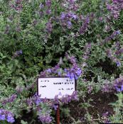 purple Cat mint