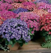 purple Florist's Cineraria