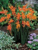 orange Crocosmia