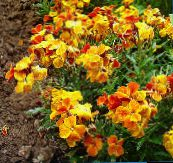 orange Wallflower, Cheiranthus