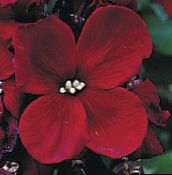burgundy Wallflower, Cheiranthus