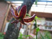 burgundy Martagon Lily, Common Turk's Cap Lily
