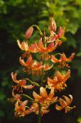 orange Martagon Lily, Common Turk's Cap Lily