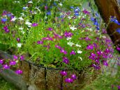 purple Edging Lobelia, Annual Lobelia, Trailing Lobelia