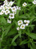 white Sweet Alyssum, Sweet Alison, Seaside Lobularia