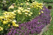 purple Sweet Alyssum, Sweet Alison, Seaside Lobularia