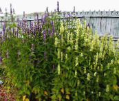 white Agastache, Hybrid Anise Hyssop, Mexican Mint