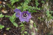 purple Himalayan blue poppy