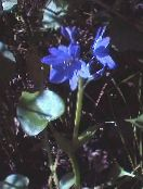 light blue Arrowleaf False Pickerelweed