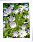 white Nemophila, Baby Blue-eyes