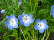 light blue Nemophila, Baby Blue-eyes