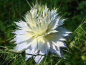white Love-in-a-mist