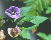 purple Shoofly Plant, Apple of Peru
