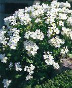 white Aubrieta, Rock Cress