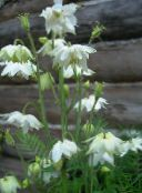 white Columbine flabellata, European columbine
