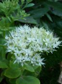 white Showy Stonecrop