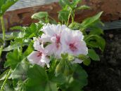 white Hooded-leaf Pelargonium, Tree Pelargonium, Wilde Malva