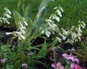 white Eastern Penstemon, Hairy Beardtongue
