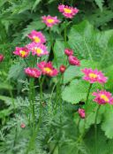 pink Painted Daisy, Golden Feather, Golden Feverfew