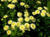 yellow Painted Daisy, Golden Feather, Golden Feverfew