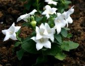 white Balloon Flower, Chinese Bellflower