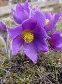 lilac Pasque flower
