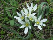 white Star-of-Bethlehem