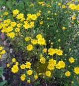 yellow Golden Marguerite, Dyer's Chamomile